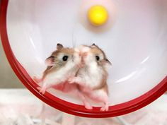 Technology For Pets: Pet Hamsters Robo Dwarf Hamsters, Robo Hamster, Cute Hamsters, Hamster Wheel, Hamster Cages, Cute Little Animals, Little Pets, Hamster Pics, Hamster Stuff
