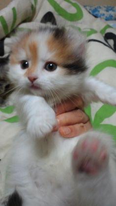 子猫販売 神奈川県