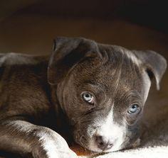 bullysmiles:  blue eyed pup by Natalie.Ann.Photography on...#pitbulls #dog breeds #canine pet #dogs #pitbull puppy #pitbull dog #pitbull breeds #red nose pitbull #pitbull terrier #apbt #staffordshire terrier #amstaff #english terrier #black pitbull #moo moo pit #chocolate pitbull #pitbull poodle #blue nosed pit #pitbull mutt #mans best friend #4 month old pitbull