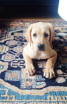 Yellow Labrador Retriever Pup