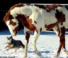 Unlikely Relationship . . .A Stallion and an Australian Cattle Dog.. they've known each other for 3 years and have always gotten along.. what a beautiful pair! Caretaker: Holley Underhill