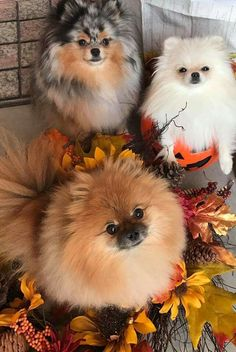 Absolutely precious! Love Poms-had two; they're waiting for me at the Rainbow Bridge.