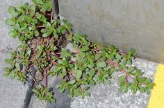 Purslane - Yes, it IS considered a common weed to many. But ithas morebeneficial Omega 3 fatty acidsthan many fish oils andone of the highest levels of vitamin A among all leafy green vegetables!