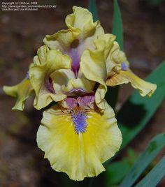 PlantFiles Pictures: Standard Dwarf Bearded Iris 'Klingon Princess' (Iris) by 1913cat Iris Flowers, Types Of Flowers, Exotic Flowers, Colorful Flowers, Planting Flowers, Beautiful Flowers, Iris Garden, Garden Plants, Dwarf Iris