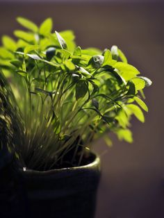 Tips on growing Herbs indoors this Winter