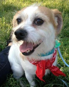 JackMeet Jack, a Petfinder adoptable Jack Russell Terrier (Parson Russell Terrier) Dog | New City, NY |I  was found as a stray running the streets of Brooklyn but luckily a good samaritan saved me