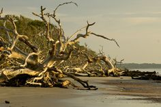 Located on the north end of Jekyll Island, Driftwood beach will amaze you with the beautiful driftwood and trees that resemble a tree graveyard. This is due to the north end of the island slowly eroding away and being deposited on the south end of the island. Driftwood beach offers a wonderful