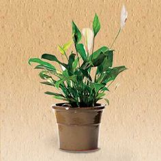 9 Clean-Air Plants for Your Home Peace Lily