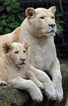 White lions - by j.a.kok [Flickr]