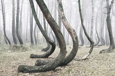 Venture through this forest outside of Nowe Czarnowo, Poland, and you'll find something very peculiar. Each tree is bent near its base at 90 degrees, causi
