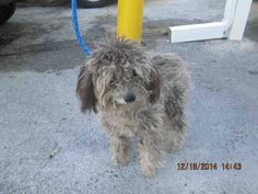 SAFE --- MACY (A1667473) I am a female gray Poodle - Miniature.  The shelter staff think I am about 9 months old.  I was found as a stray and I may be available for adoption on 12/27/2014. —  Miami Dade County Animal Services. https://www.facebook.com/urgentdogsofmiami/photos/pb.191859757515102.-2207520000.1419009926./891815590852845/?type=3&theater