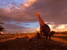 namibia | Animals Wildlife Namibia Giraffes Fresh New Hd Wallpaper