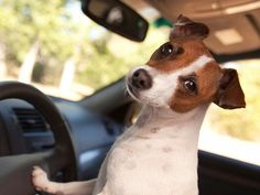 Cute jack russell pics dog car