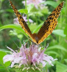 Attracting Beneficial Insects to Your Garden. Amazing article with many very informative links. Garden Bugs, Garden Pests, Organic Weed Control, Outdoor Play Spaces, Identify Plant, Beneficial Insects, Organic Gardening, Gardening Tips, Gardens