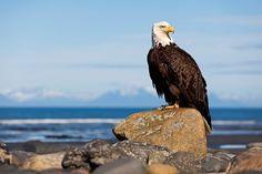 Majestätisch und würdevoll blickt der imposante Weißkopfseeadler über sein Revier. Die Fototapete Stolzer Greifvogel von Stefan Arendt beweist anschaulich, dass der Adler zu Recht als Symbol für Mut und Kraft gilt. #wallpaper