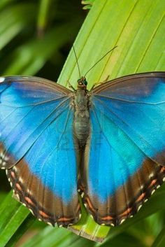 Blue Morpho Butterfly looks almost exactly like my tattoo