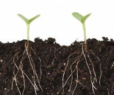 Soil tonics aren't fertilizers, but additives that help your soil and plants in some way. Seaweed or fish emulsion, weed tea, manure tea, compost tea and worm liquid all add vital nutrients to your. Planta Cannabis, Cannabis Plant, Weed Tea, Self Watering Containers, Compost Tea, Greenhouse Growing, Cannabis Growing, Growth Hacking, Tree Roots