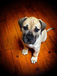 English Mastiff Puppy.