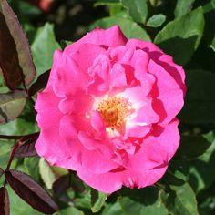 Rosa 'Zephirine Drouhin' 5.5L - Bents