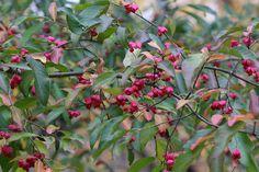 Eastern Wahoo (Euonymus atropurpureus)