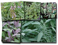 culinary sage varieties | Sage is a powerful antioxidant and antibacterial, so its culinary use ...