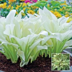 White Feather Hosta - I didn't know hostas could be white. These produce lavender blooms by mid summer.