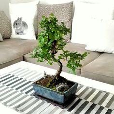 Japanese Fairy Garden Bonsai Tree