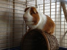 Zeus-King of the basket! Such a handsome guinea pig.