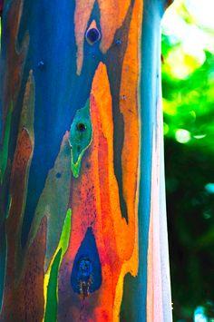 Rainbow-Eucalyptus-05.jpg