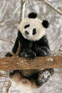 Did you know, panda's are also sometimes called the giant panda, to differentiate them from the red panda, which not many people realise, is a totally unrelated species? Panda Love, Love Bear, Cute Panda, Panda Panda, Happy Panda, Red Panda, Nature Animals, Animals And Pets, Wild Animals