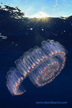 Salp Chain by Davichin - Salps are tunicates that swim by jet propulsion, taking in water through a siphon at one end of their bodies and expelling it at the other. Four inch salps link together to make luminous chains up to fifteen feet long!