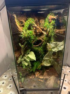 Crested Gecko Vivarium, Crested Gecko Habitat, Pet Tarantula, Frog Tank, Frog Habitat, Whites Tree Frog, Gecko Terrarium, Classroom Pets, Pet Frogs