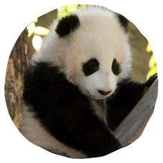 Watch the Zoo& pandas Gao Gao, Bai Yun, and Xiao Liwu daily! Panda Cam, Cute Panda, Happy Panda, Panda Tour, Preschool Jungle, Live Animals, Zoo Animals, San Diego Zoo, Animal Facts