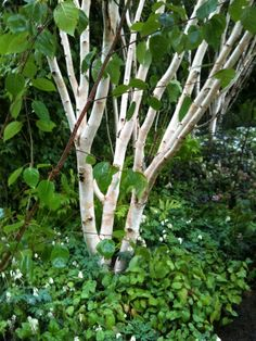 White stemmed plants such as this Himalayan birch (betula utilis var. jacquemontii), zone 4-7, or ghost brambles (rubus cockburnianus), zone 5-9, are especially visually striking in the evening and during winter.