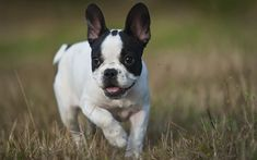 Download wallpapers French bulldog, white small puppy, 4k, small dog, green grass, pets