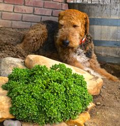 Airedale Jake
