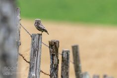 Little Owl by FranoisSchneider #animals #animal #pet #pets #animales #animallovers #photooftheday #amazing #picoftheday