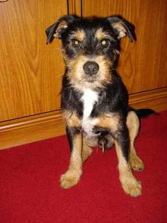 ♥DD♥ 452 YORKIE RUSSELL (JACK RUSSELL TERRIER & YORKSHIRE TERRIER)