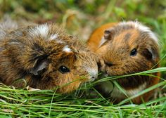 guinea pig version of lady and the tramp! spaghetti noodle is now a blade of grass!