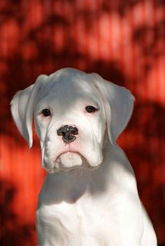 White Boxer - So precious! ---- Love Your Boxer? Visit our website now! White Boxer Dogs, Boxer And Baby, White Boxers, Boxer Love, Cute Puppies, Cute Dogs, Dogs And Puppies, Doggies, Chihuahua Dogs