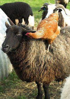 А еще называл тебя овцой! Да, да! Тупой овцой! — забодаю!