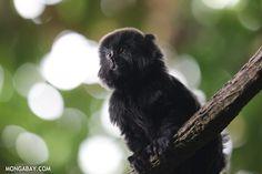 Goeldi's monkey