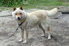 こちら鳥取県の日本犬「山陰柴犬」の「コウ」くんです。山陰柴犬は冬毛が抜ける5〜6月ごろ、まるで羊のような顔立ちになるのですが、ここまではっきりと羊そっくりになるのは珍しいんだそう