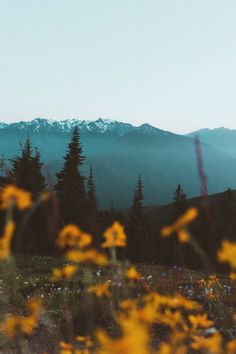 "asthmas: ""Berty Mandagie, Wild flowers at Hurricane Ridge during sundown (Olympic National Park, WA, 2016) """