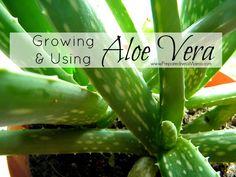 Growing & Using Aloe Vera for burns, skin irritation and muscle aches | PreparednessMama