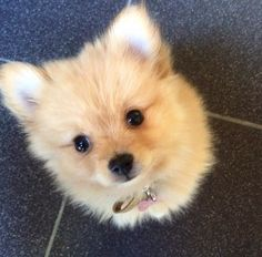 Adorable Little Fluffy Pomeranian Puppy