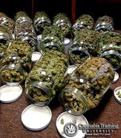 Medical cannabis can cure cancer   cannabistraininguniversity.com