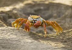 Zapaya, cangrejo característico de las Galápagos.