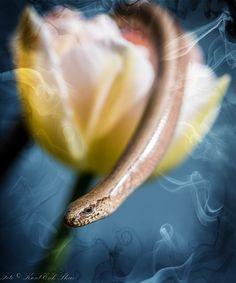 Stålorm på blomst