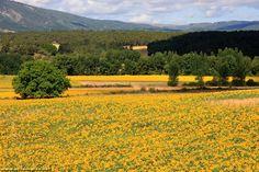 Champs de tournesols entre Frias et Burgos dans la vallee du Rio Ocas - Castille Leon - Espagne